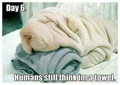 Adorable Shar-Pei need their beauty sleep. Now it's time for us to take a look at something that will make us all smile…Shar-Pei dogs sleeping in hilarious positions. Baby Animals, Funny Animals, Cute Animals, Towel Animals, Funny Animal Pictures, Cute Pictures, Dog Pictures, Funniest Pictures, Animal Pics