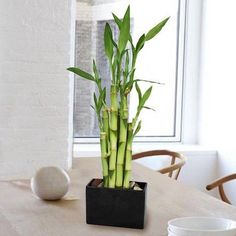 Top 10 Air Purifying House Plants — Bamboo removes benzene, trichloroethylene and formaldehyde while also adding moisture to the air to act as a natural humidifier