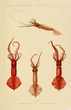 sciviz:  Selected Illustrations by Carl Chun (1852-1914) from...