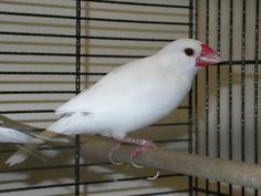 Finch - Java Rice - White Java, Parrot, Rice, Birds, Animals, Parrot Bird, Animaux, Bird, Parrots