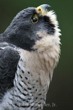 The Peregrine Falcon (Falco Peregrinus)