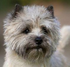 GCH CH Hampton Court's Ashley (Cairn Terrier)