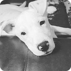 Fenton, MO - Pit Bull Terrier Mix. Meet Flurry, a puppy for adoption. http://www.adoptapet.com/pet/17250060-fenton-missouri-pit-bull-terrier-mix