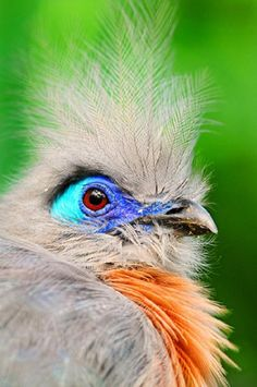 Portrait of a crested coua