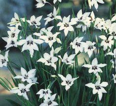 Gladiolus murielae (Corms)