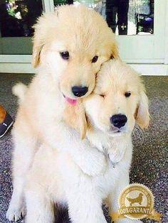 Adorable Golden pups hugging ❤️