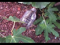 How to air layer a fig tree using a plastic bottle, start to finish - YouTube fruit propagation