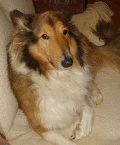 GREAT collie dogs