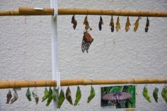 Mainau Island on Lake Constance in Germany: A butterfly has emmerged from its cocoon in Mainau Island, Germany