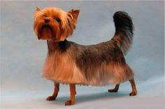 You love your Yorkie the most because of its unique and lovely hairdo. This is the most impressive element of its personality and this is the reason that value of creative Yorkie haircuts has increase. Yorkshire Terrier Haircut, Yorkshire Terrier Puppies, Yorkies, Yorkshire Macho, Yorkie Cuts, Yorkie Hairstyles, Dog Grooming Styles, Cat Grooming, Ugly Dogs