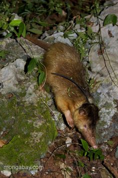The female Hispaniolan solenodon caught by Nicolas Corona in the Dominican Republic. She's awaiting being fitted with a radio collar