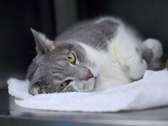 NIKO - 17111 - - Brooklyn  *** TO BE DESTROYED 01/08/18 *** Niko is a 5 year old neutered gray tabby and white cat who was surrendered by is owner due to allergies. The owner stated that she got the cat from her son in March of 2017.  -  Click for info & Current Status: http://nyccats.urgentpodr.org/niko-17111/
