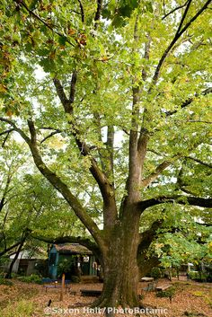 English Oak tree, Quercus robur at Marin Art & Garden Center