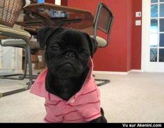 Un chien qui a du style ! - Look At This Douche Pug