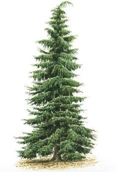 Eastern white pine tree tattoo u. Watercolor Trees, Watercolor Landscape, Landscape Paintings, Watercolor Paintings, Tree Drawing Simple, Evergreen Landscape, Pine Tree Tattoo, Conifer Trees, Tree Graphic