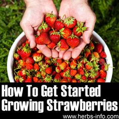 How To Get Started Growing Strawberries <3