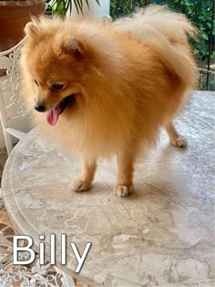 Carousell - Snap to List, Chat to Buy Sale On, Pomeranian, Animals, Animaux, Pomeranians, Animal, Animales, Animais