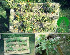 Ogród warzywny z wykorzystaniem palety tym razem z wykorzystaniem podpórki(vertical veg garden with pallets).