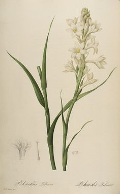 Tuberose. From 'From Marie-Antoinette's Garden: An Eighteenth-Century Horticultural Album