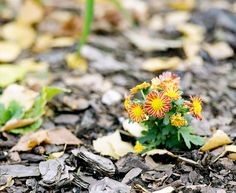 autumn flowers Mamiya RB67 Pro S Mamiya Sekor C 180mm f/4.5  Fuji Superia 100 expired in 2005 shot at 50 6x7 film fuji superia 120 mediumformat mamiya rb67 sekorc 180mm 45 shadow bokeh bokehlicious grass flower autumn fall mulch yellow orange