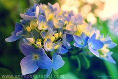 First Blue Hydrangea, limited edition fine art print by Anna Porter digital photography ~ 16 x 24
