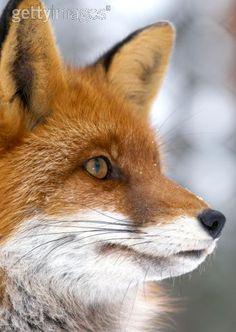 The beautiful fox. I will always be an advocate for all animals. God put there fur on them, not us. Buy faux, it's just as pretty and you will not have to take a precious life.