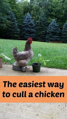 The easiest way to cull a chicken. The easiest way to cull a chicken. Raising Backyard Chickens, Backyard Chicken Coops, Keeping Chickens, Diy Chicken Coop, Pet Chickens, Backyard Farming, Urban Chickens, Chicken Garden, Building A Chicken Coop