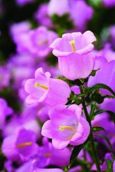 Pink Champion Bellflower Flower Pictures Soquel Nursery Growers Soquel, CA Blossom Garden, Pink Garden, Blossom Flower, Flower Petals, Flower Images, Flower Pictures, Garden Landscape Design, Garden Landscaping, Craft Ideas