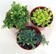 "3 Club Moss Plants - Selaginella -  Terrariums, Fairy Gardens - 2.5"" Pots"