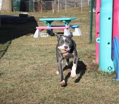 Lexie looking for a furever home!  nepabullies@gmail.com