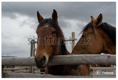 Bay horses in corral at roundup time. Stock photo available at http://www.shutterstock.com/pic.mhtml?id=416446468  by GEvans