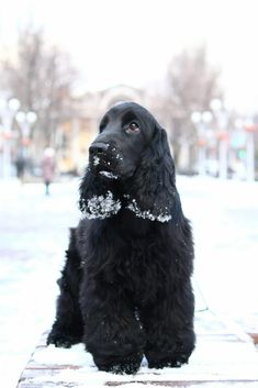 Visit our site for additional relevant information on It is an outstanding area to learn more. American Cocker Spaniel, Cocker Spaniel Puppies, English Cocker Spaniel, Baby Puppies, Cute Puppies, Cute Dogs, Dogs And Puppies, Doggies, Cheap Dog Food