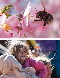 Un abejorro se posa en la flor de un cerezo en Erfurt, Alemania.  Una mujer con…