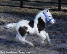 Gentle Carousel Miniature Therapy Horses Anthem is a fuzzy baby but he thinks he…