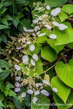 hydrangea garden care Why Arent My Hydrangeas Blooming Pruning Hydrangeas, Types Of Hydrangeas, Hydrangea Landscaping, Flowers Perennials, Landscaping Ideas, Garden Landscaping, Clematis Plants, Smooth Hydrangea, Hydrangea Bloom