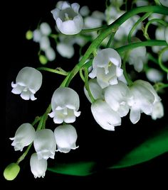 Lily of the Valley/Muguet des Bois...the essence of what fragrance means and lovely to look at too!
