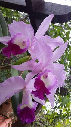 Rare Flowers, Exotic Flowers, Amazing Flowers, Purple Flowers, Beautiful Flowers, Flowers Uk, Purple Rose, Orchids Garden, Orchid Plants