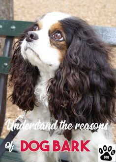 When It Comes To Pets, We Know It All #dogbarking King Charles Puppy, Cavalier King Charles Dog, King Charles Spaniels, Cavalier King Charles Spaniel Puppy, Perro Cocker Spaniel, Spaniel Dog, Rei Charles, Spaniel Breeds, Cockerspaniel