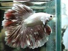 Resultado de imagem para peixes ornamentais betta reprodução