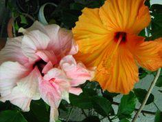 Picture 016 - Hibiscusi 2011