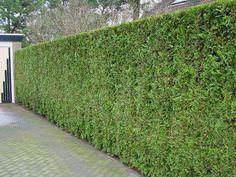 Thuja occidentalis 'Smaragd' - levensboom, groene haagconifeer - Coniferen, Haagplanten, Haagplanten: groenblijvend | Maréchal