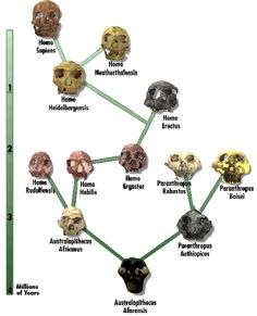 That Science Guy — Chart of the Evolution of Man (Homo = Man in.