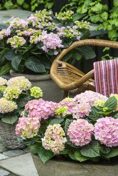 Die Terrasse ist im Hortensien-Fieber! #pflanzenfreude #pflanze #plant…