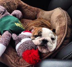 Boxer Bulldog, Bulldog Puppies, Cute Puppies, Cute Dogs, Old English Bulldog, French Bulldog, Mans Best Friend, Girls Best Friend, Animals