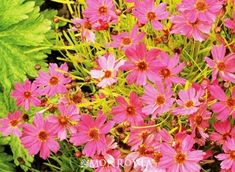 Pink Lemonade Tickseed (Coreopsis 'Pink Lemonade' P.P. #18,265) - new plant to try in front of bed.