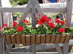 Growing and Caring for Zonal Geraniums (Pelargonium x hortorum): Geraniums make an elegant container plant.