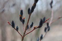 Salix gracilistylus Melanostachys catkins, by Justine Hand, Gardensita