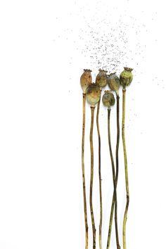 opium poppy   STILL (mary jo hoffman)