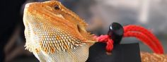 Here are 5 fun activities for bearded dragons. Entertain your bearded dragon and develop a better relationship by using these five activities.