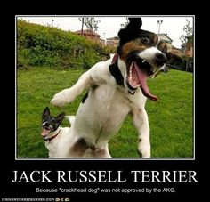 Jack Russell Terrier= crackhead dog